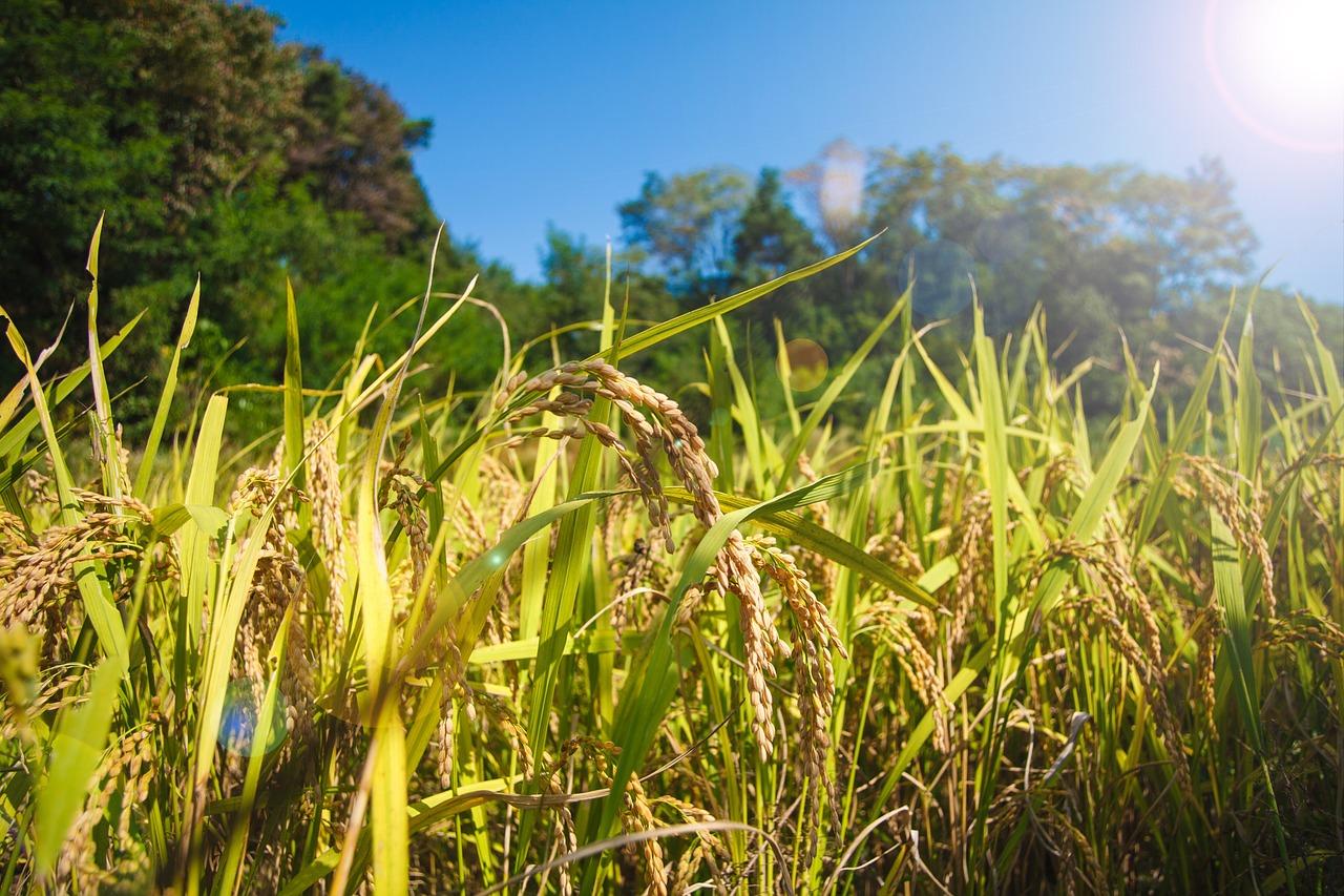 水田に実る収穫前の稲穂